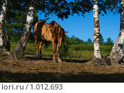 Купить «Лошадь у берез», фото № 1012693, снято 22 июля 2009 г. (c) Сергей Новиков / Фотобанк Лори