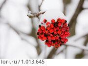 Купить «Зимняя рябина», фото № 1013645, снято 23 ноября 2008 г. (c) Александр Артемьев / Фотобанк Лори