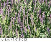 Цветы в крымской степи. Стоковое фото, фотограф Геннадий Хрони / Фотобанк Лори