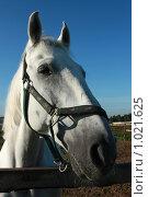Купить «Портрет белого коня», фото № 1021625, снято 6 августа 2009 г. (c) Яна Королёва / Фотобанк Лори