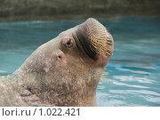 Усатый морж выдыхает воздух. Стоковое фото, фотограф Дарья Мирошникова / Фотобанк Лори