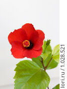Купить «Раскрытие цветка гибискуса. Шаг 9», фото № 1028521, снято 10 августа 2009 г. (c) Галина Лукьяненко / Фотобанк Лори