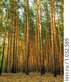 Купить «Сосновый лес», фото № 1032589, снято 15 июля 2009 г. (c) Сергей Галушко / Фотобанк Лори