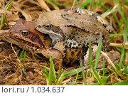 Спаривание лягушек. Стоковое фото, фотограф Дарья Суворова / Фотобанк Лори