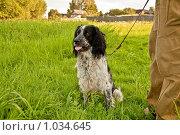 Русский спаниель. Стоковое фото, фотограф Ilogin / Фотобанк Лори