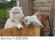 Купить «Козел и коза зааненской породы», фото № 1035093, снято 6 августа 2009 г. (c) Галина Ермолаева / Фотобанк Лори
