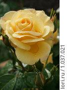 Желтая роза с каплей дождя. Стоковое фото, фотограф Анна Дегтярёва / Фотобанк Лори