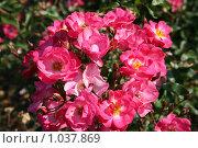Купить «Куст розовых роз», фото № 1037869, снято 13 августа 2009 г. (c) Наталья Волкова / Фотобанк Лори