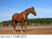 Купить «Конь рыжей масти стоит в поле», фото № 1040873, снято 12 августа 2009 г. (c) Яна Королёва / Фотобанк Лори