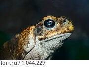 Купить «Ядовитая жаба ага крупным планом», фото № 1044229, снято 13 мая 2008 г. (c) Александр Куличенко / Фотобанк Лори