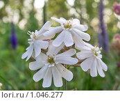 Купить «Луговые цветы Смолевка белая», фото № 1046277, снято 15 июля 2009 г. (c) Виталий Гаев / Фотобанк Лори