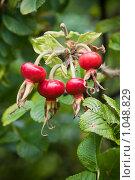 Купить «Плоды шиповника», фото № 1048829, снято 23 августа 2009 г. (c) Smolin Ruslan / Фотобанк Лори