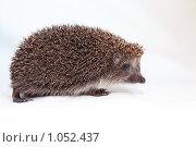 Ёжик. Стоковое фото, фотограф Павел Гундич / Фотобанк Лори