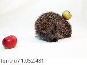 Купить «Ежик с яблоками», фото № 1052481, снято 22 августа 2009 г. (c) Павел Гундич / Фотобанк Лори