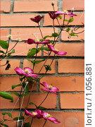 Клематис растет вдоль кирпичной стены дома. Стоковое фото, фотограф Наталья Наточина / Фотобанк Лори