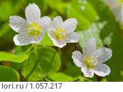 Купить «Цветы кислицы с росой», фото № 1057217, снято 31 мая 2009 г. (c) Александр Рощин / Фотобанк Лори