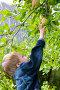 Мальчик тянется за яблоком, фото № 1059057, снято 29 августа 2009 г. (c) Елена Блохина / Фотобанк Лори