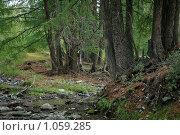 Купить «Алтайский лес», фото № 1059285, снято 14 августа 2009 г. (c) Stepanuk Valera / Фотобанк Лори