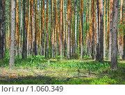 Сосновый лес. Стоковое фото, фотограф Сергей Жуков / Фотобанк Лори