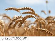 Купить «Зрелые колосья пшеницы на поле», фото № 1066501, снято 27 июля 2009 г. (c) Архипова Мария / Фотобанк Лори