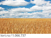 Пшеничное поле. Стоковое фото, фотограф Владимир Кириенко / Фотобанк Лори