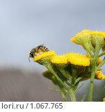 Пчела на желтом цветке. Стоковое фото, фотограф Татьяна Иванова / Фотобанк Лори