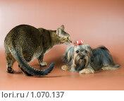 Купить «Болонка и кот», фото № 1070137, снято 12 августа 2009 г. (c) Vladimir Suponev / Фотобанк Лори