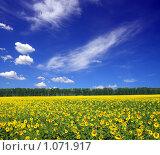 Купить «Поле подсолнухов под синим небом», фото № 1071917, снято 10 августа 2008 г. (c) Михаил Коханчиков / Фотобанк Лори