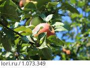 Яблоко на ветке. Стоковое фото, фотограф Bushuev Sergey / Фотобанк Лори
