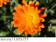 Купить «Цветок календулы лечебной», фото № 1073777, снято 5 сентября 2009 г. (c) Erudit / Фотобанк Лори