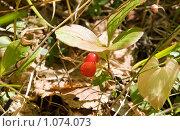 Купить «Красника (клоповка). Vaccinium praestans», фото № 1074073, снято 5 сентября 2009 г. (c) Ирина Игумнова / Фотобанк Лори