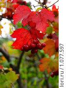 Калина красная. Стоковое фото, фотограф Евгения Никифорова / Фотобанк Лори