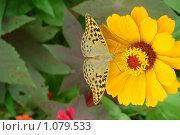 Бабочка собирает нектар. Стоковое фото, фотограф Стрельченко Сергей / Фотобанк Лори