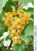 Купить «Кисть спелого желтого винограда на фоне листьев», фото № 1080241, снято 25 августа 2008 г. (c) Александр Паррус / Фотобанк Лори