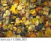 Купить «Осенние листья», фото № 1086301, снято 3 октября 2008 г. (c) Арапова Ольга / Фотобанк Лори