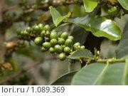 Купить «Плоды кофейного дерева», фото № 1089369, снято 25 июня 2019 г. (c) Пётр Соболев / Фотобанк Лори