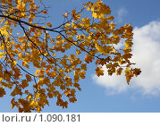 Купить «Ветка клёна с осенними листьями на фоне неба», фото № 1090181, снято 5 октября 2008 г. (c) Полина Столбушинская / Фотобанк Лори