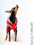 Купить «Собака в одежде баскетболиста», фото № 1091077, снято 11 июля 2009 г. (c) Данил Ефимов / Фотобанк Лори