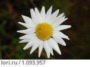 Купить «Ромашки. Полевые цветы.», фото № 1093957, снято 12 июля 2009 г. (c) Елена Соломонова / Фотобанк Лори