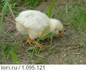Цыпленок ищет еду. Стоковое фото, фотограф Сотникова Екатерина / Фотобанк Лори