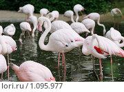 Купить «Розовые фламинго в зоопарке», фото № 1095977, снято 21 июня 2009 г. (c) Сальников Николай / Фотобанк Лори