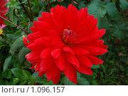 Красный цветок. Стоковое фото, фотограф Денис Шустиков / Фотобанк Лори