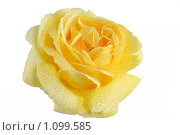 Купить «Желтая роза в каплях воды на белом фоне», фото № 1099585, снято 25 марта 2019 г. (c) Наталья Волкова / Фотобанк Лори