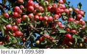Купить «Спелые красные яблоки на яблоне на фоне голубого неба», фото № 1099589, снято 17 ноября 2018 г. (c) Сычёва Виктория / Фотобанк Лори
