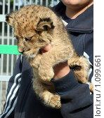 Купить «Новорожденный львенок», фото № 1099661, снято 17 сентября 2009 г. (c) Вера Тропынина / Фотобанк Лори