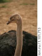 Купить «Спящий страус», фото № 1101713, снято 8 августа 2009 г. (c) Удодов Алексей / Фотобанк Лори