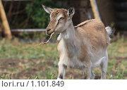 Купить «Козочка жует траву», фото № 1101849, снято 12 сентября 2009 г. (c) Акиньшин Владимир / Фотобанк Лори
