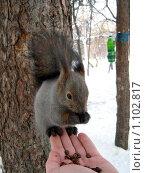 Купить «Ручная белка», фото № 1102817, снято 4 января 2009 г. (c) Юлианна Аракчеева / Фотобанк Лори