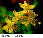Купить «Цветущий зверобой. Hypericum», фото № 1102849, снято 26 июля 2008 г. (c) Алёшина Оксана / Фотобанк Лори