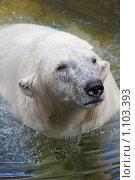 Купить «Белая медведица купается», фото № 1103393, снято 11 августа 2009 г. (c) Наталья Наточина / Фотобанк Лори